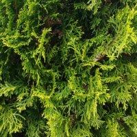Die Thuja wird auch Lebensbaum genannt