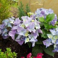 Hortensien als Grabbepflanzung