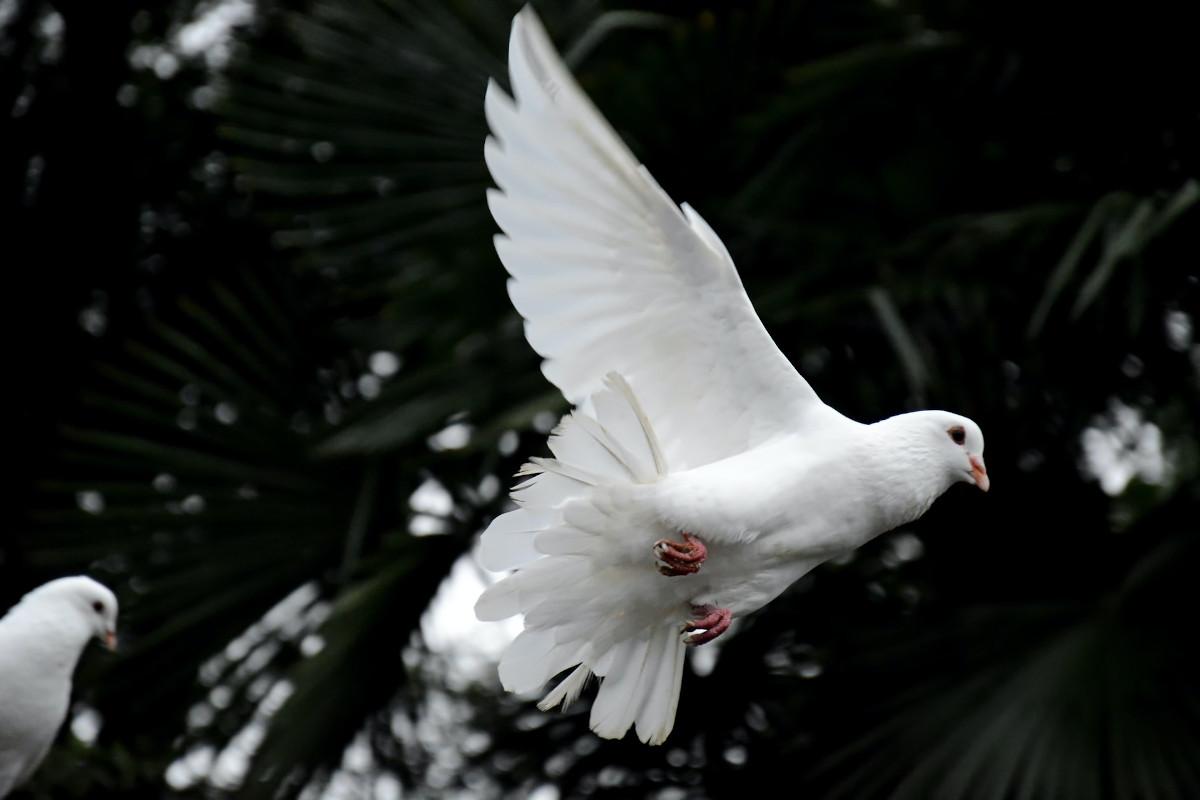 Weiße Taube zu Pfingsten
