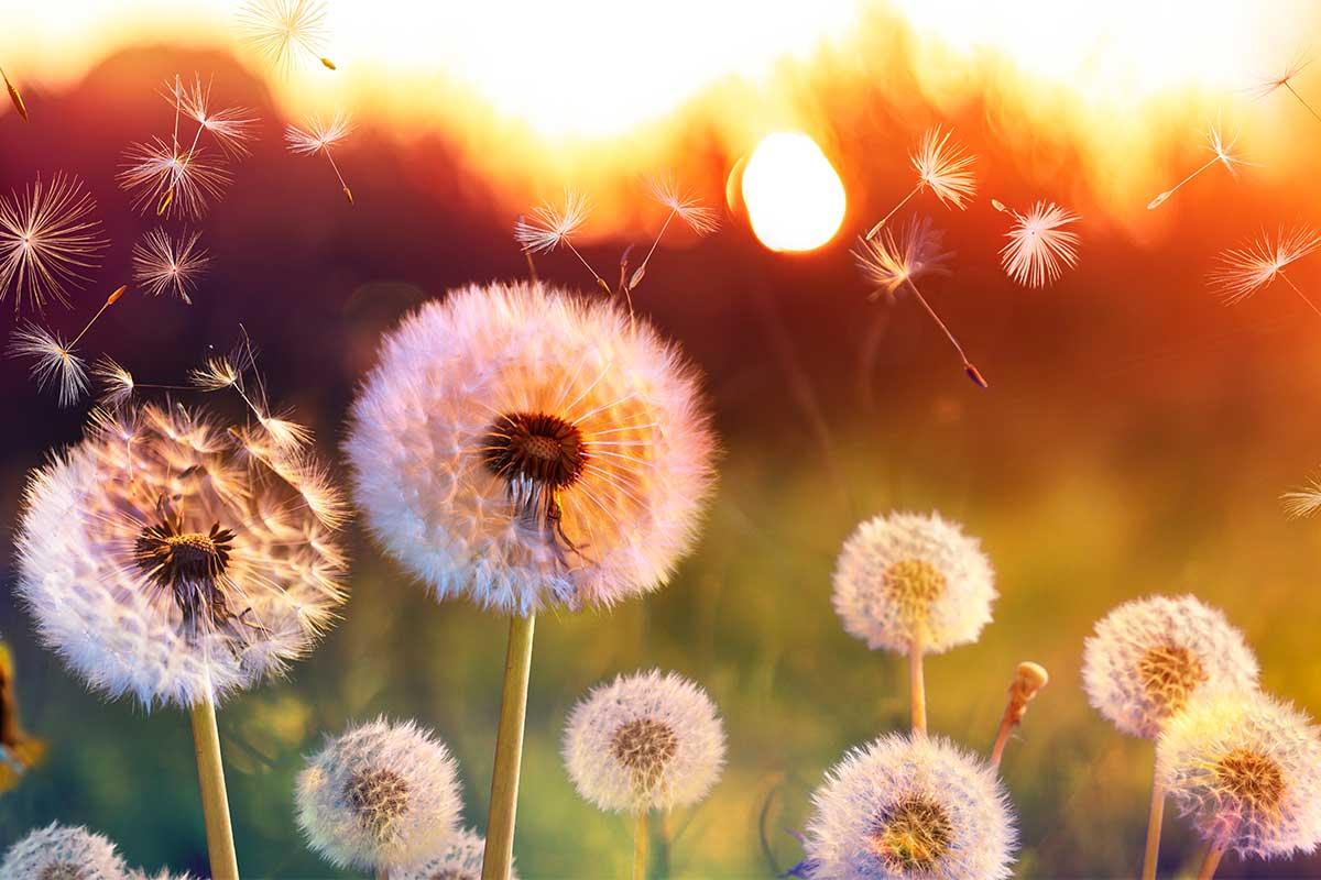 Trauerbild mit Pusteblumen und Sonnenuntergang